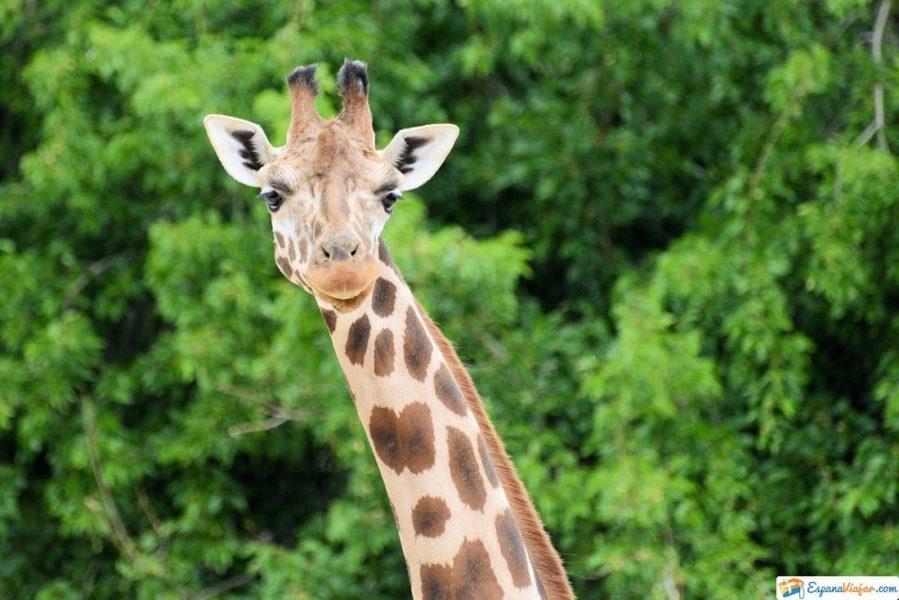 jirafas safari madrid