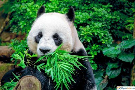 pandas del zoo aquarium