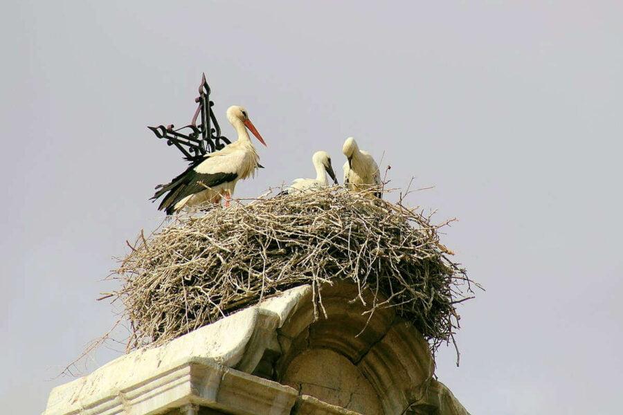 Cigüeñas en Consuegra