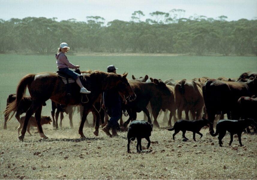 Cría de vacas en Santa Gertrudis